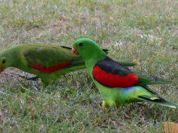 Crvenokrili papagaj-Aprosmictus erythropterus