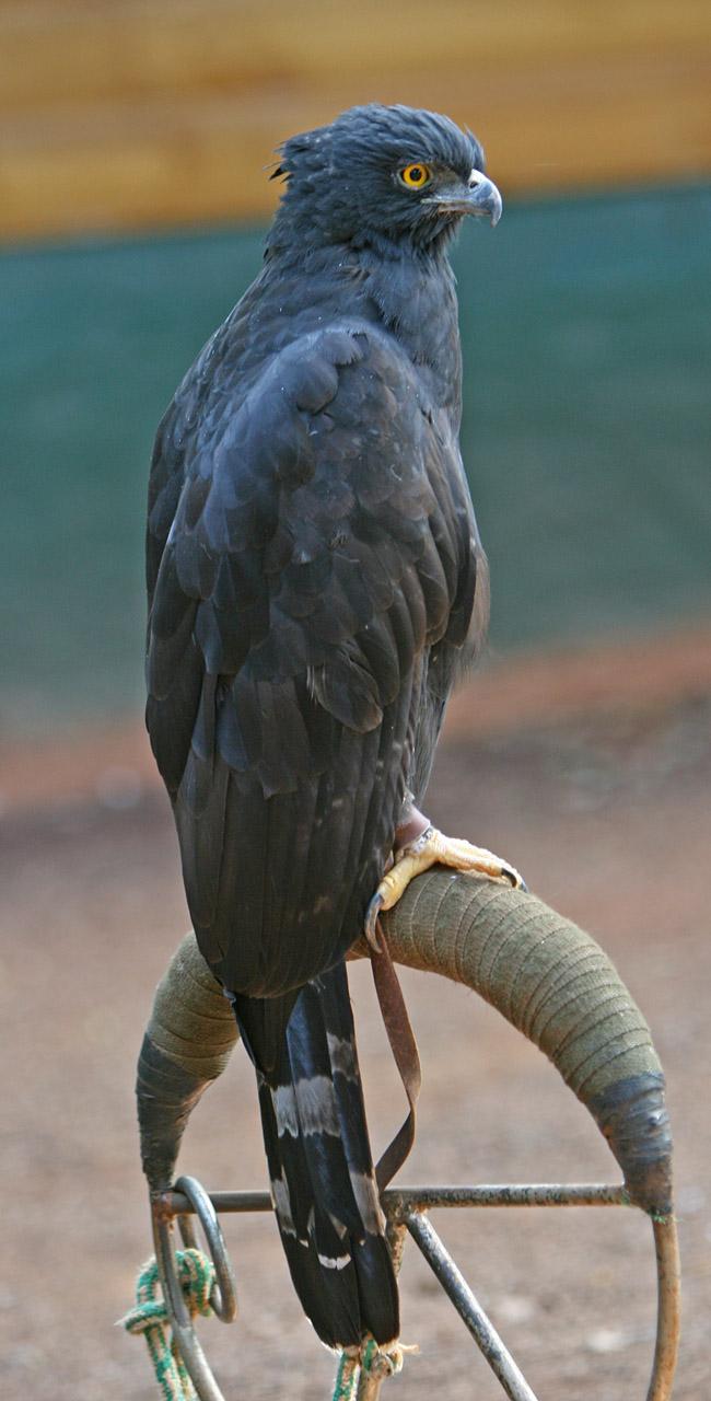 Black Hawk-Eagle.jpg