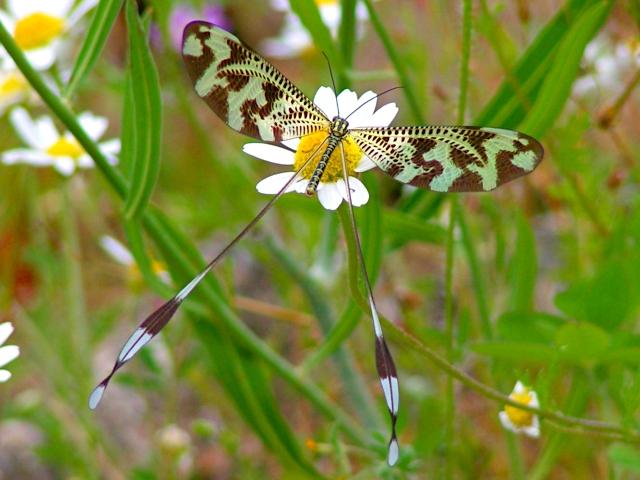 File:Nemoptera bipennis.jpg