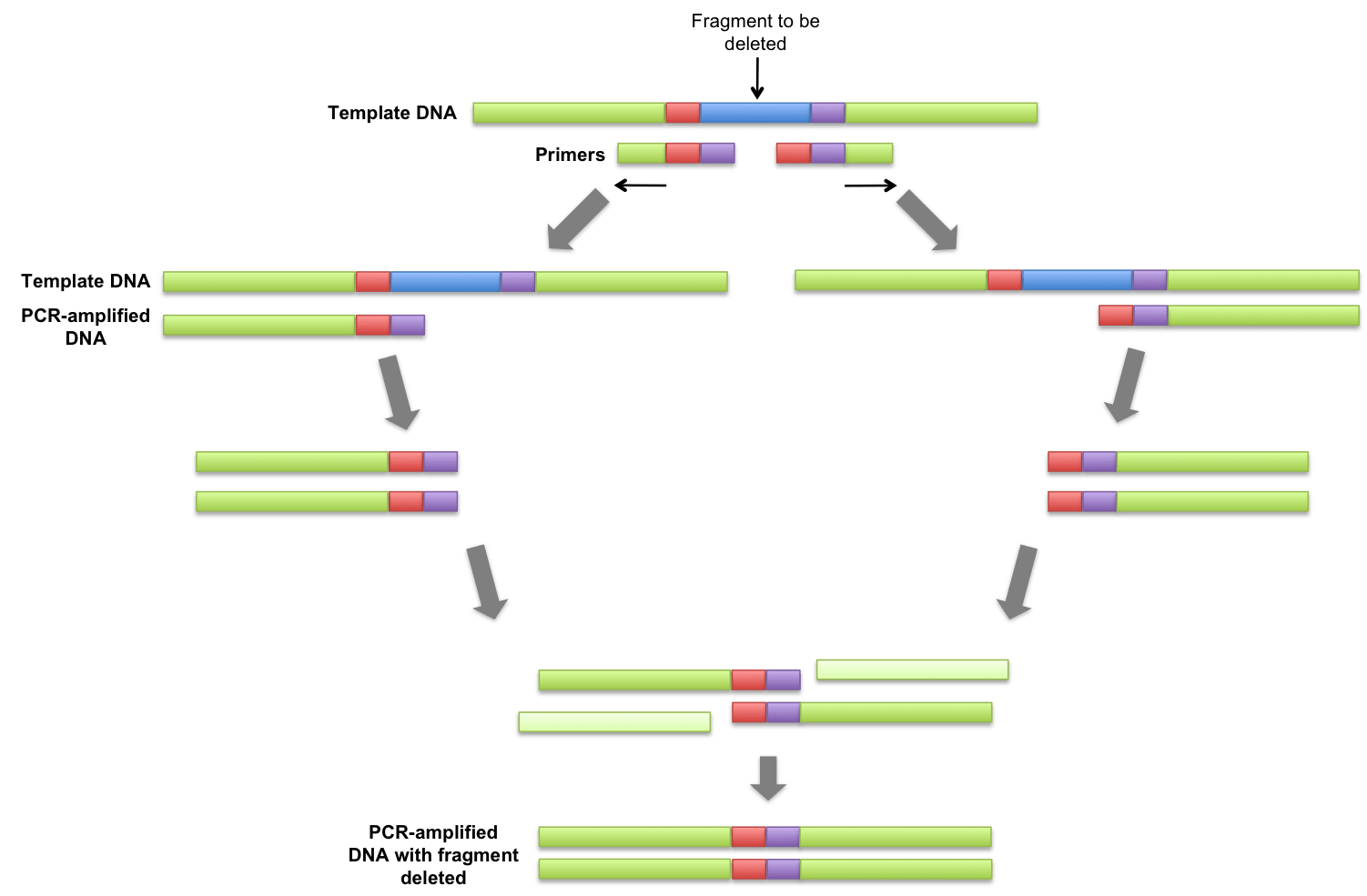 polymerase chain reaction diagram 2 p90 wiring list of synonyms and antonyms the word overlap pcr