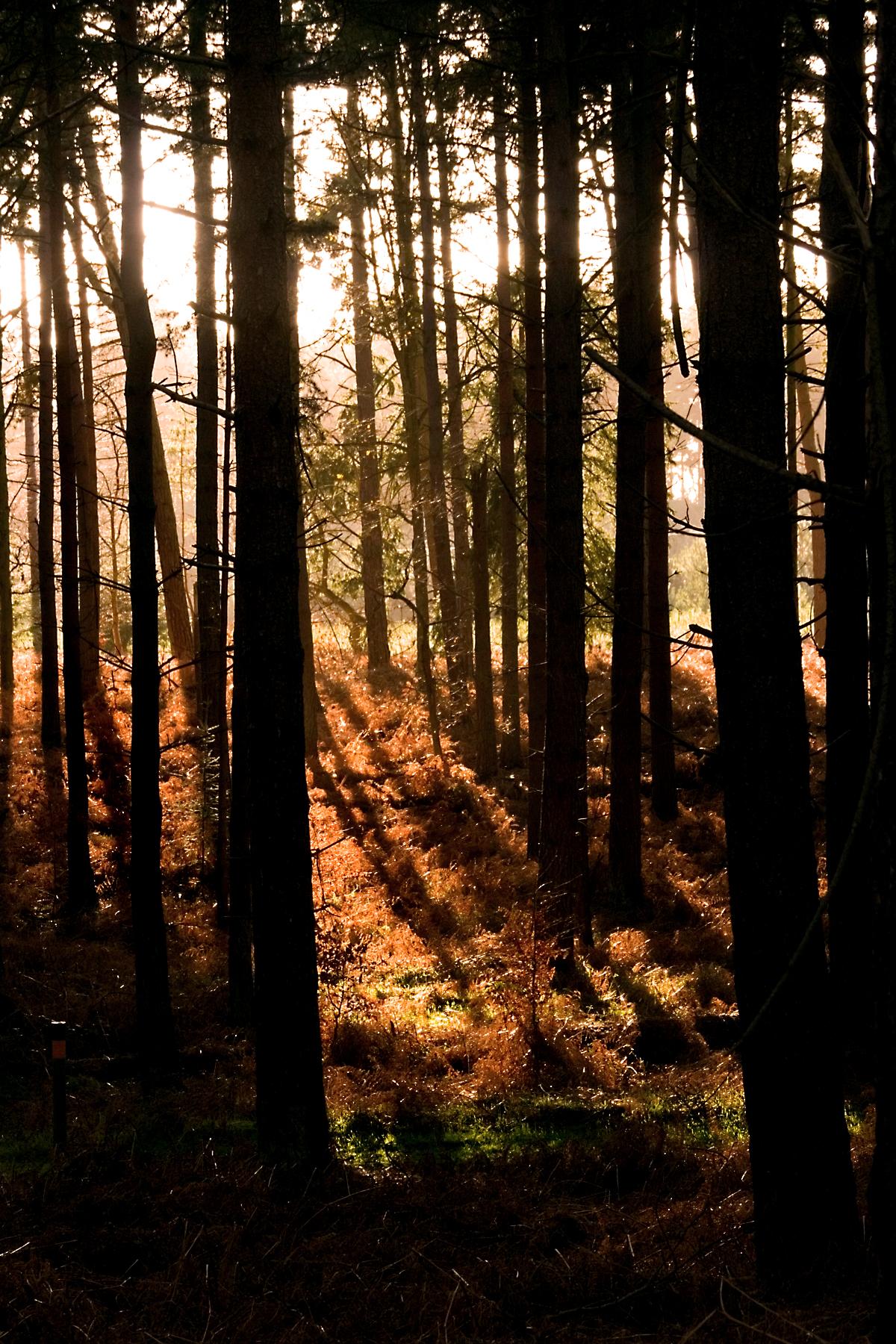thetford forest wikipedia