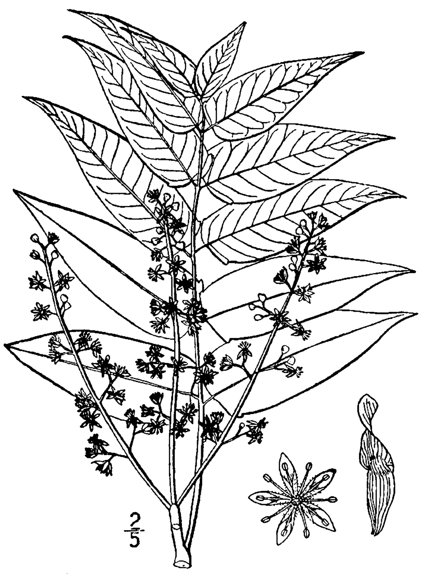 File Ailanthus Altissima Drawing