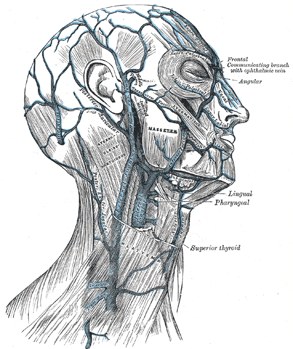 diagram of lymph nodes in neck and head minn kota wiring manual external jugular vein - wikipedia