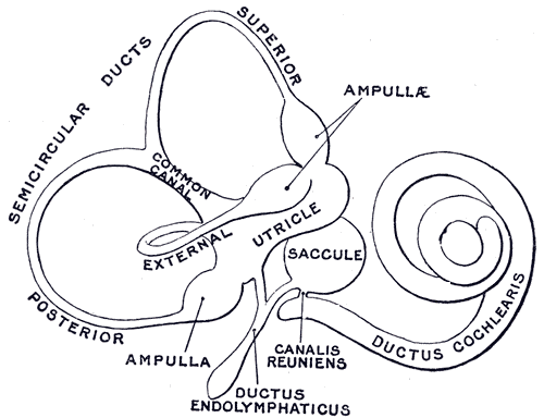 parts of the outer ear diagram auto radio wiring diagrams endolymphatic duct - wikipedia