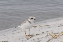 FilePipin plover sideview playero mel243dico 5840464532