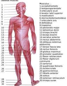 Skeletal muscles homo sapiensg also list of the human body wikipedia rh enpedia