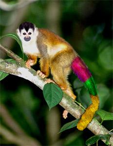 English: colored monkey