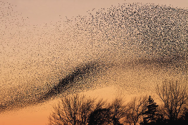 A Murmuration of birds similar to those shown in the opening of this episode.