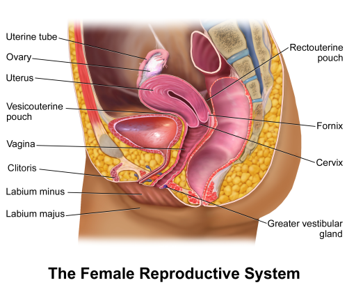small resolution of fallopian tube diagram of woman