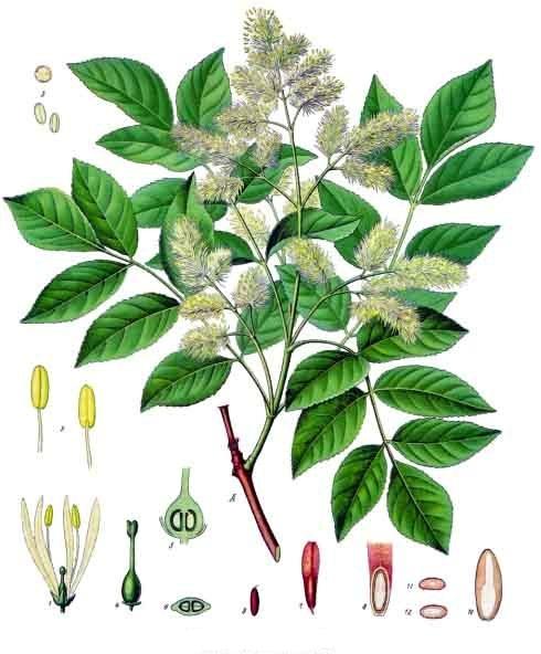 Branche de frêne et éléments végétaux