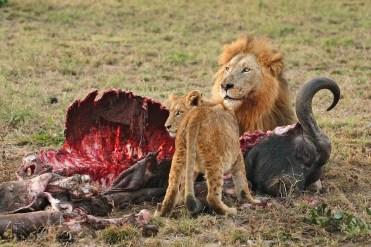 lion - lionceau - proie