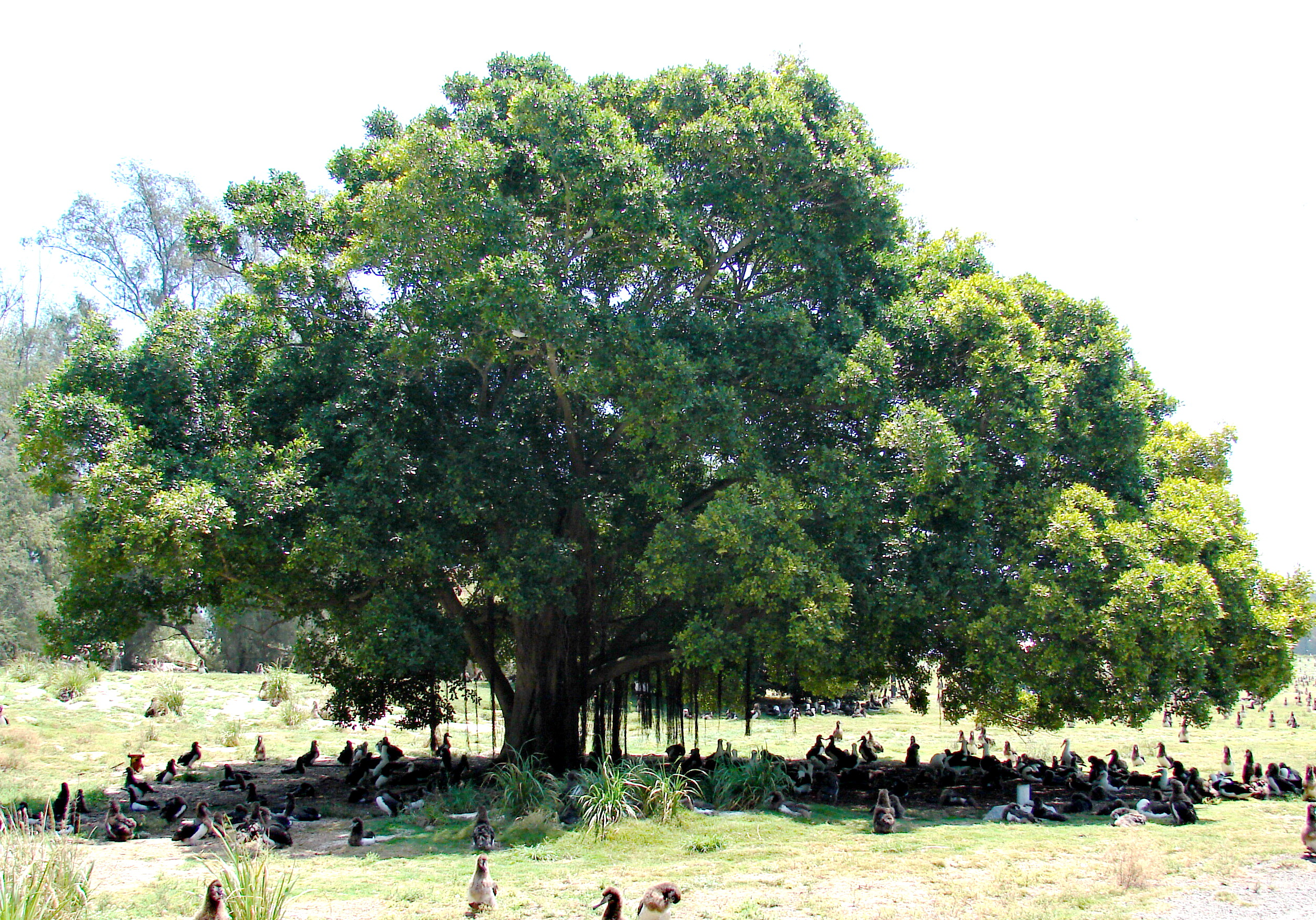 Pepper Tree Wood Uses