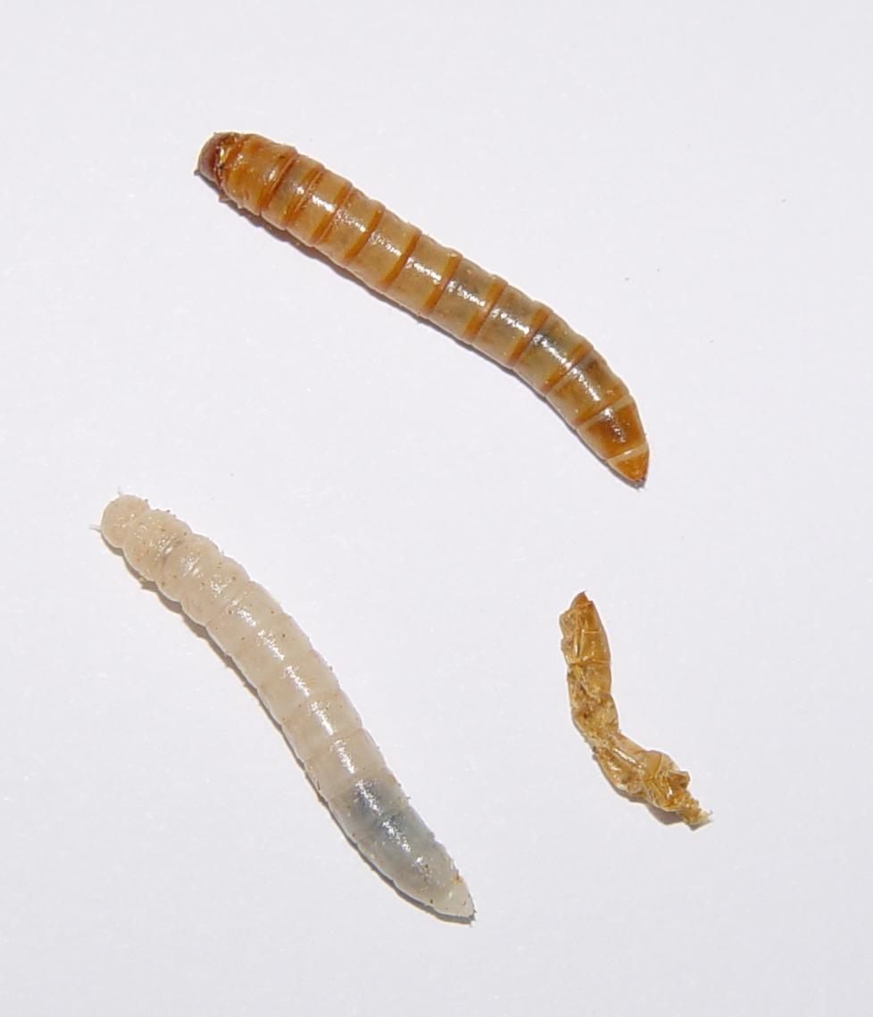 Insektlarve  Wikipedia