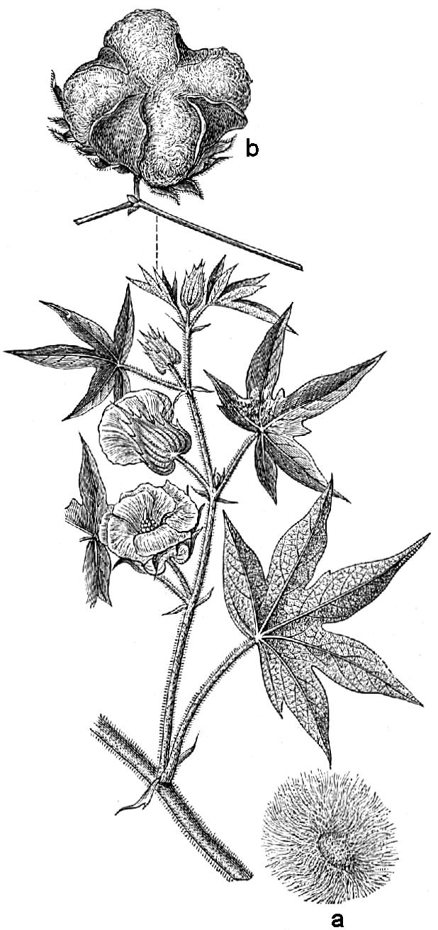 Gossypium herbaceum — Wikipédia