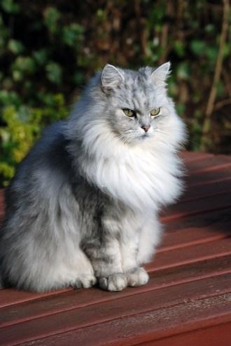Risultati immagini per chinchilla cat