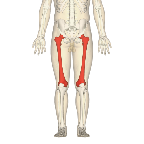 small resolution of upper leg bone diagram labeled