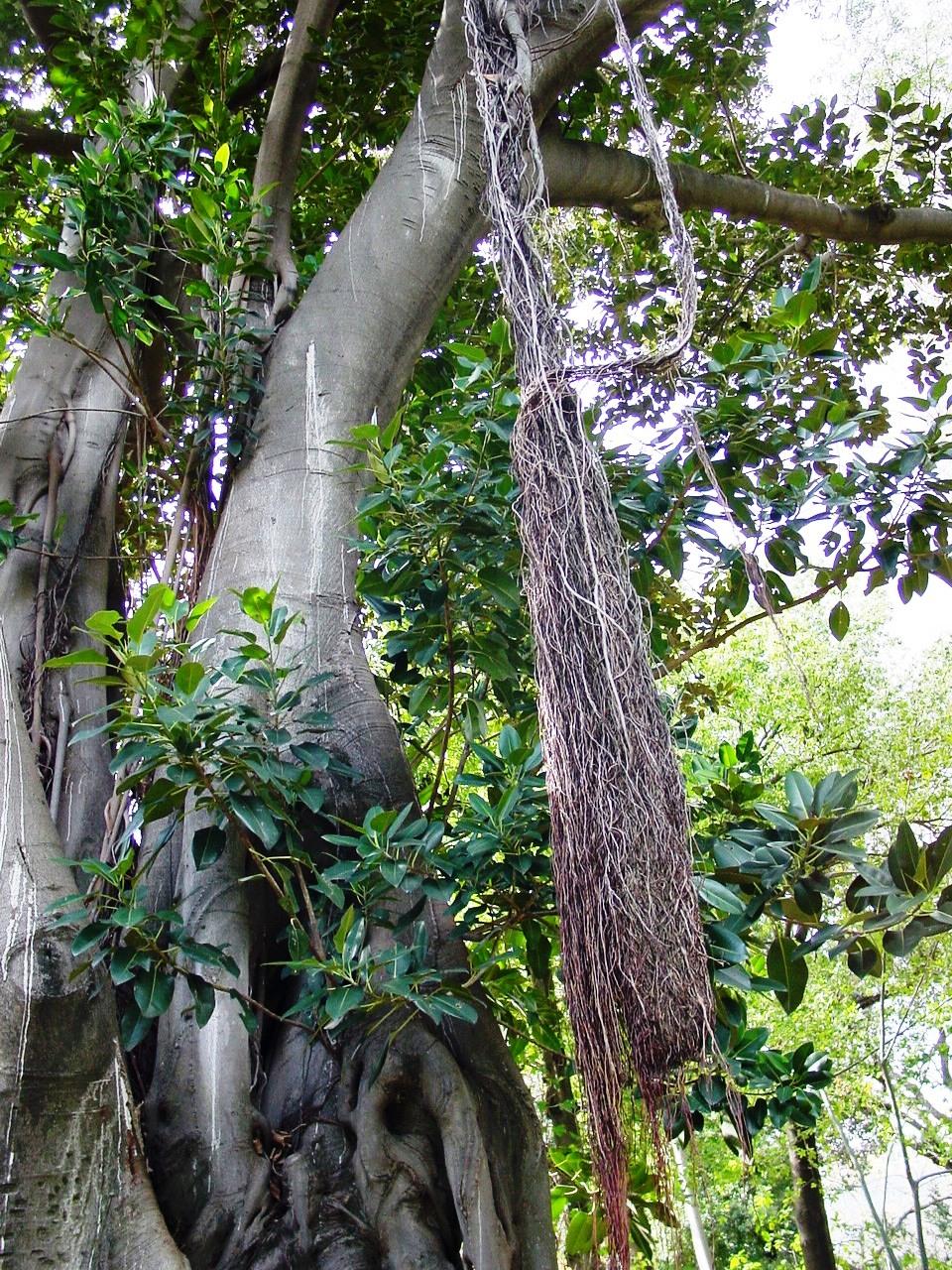plante grimpante feuillage persistant