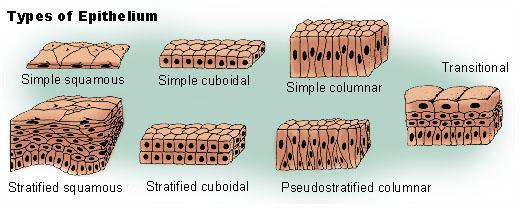 stratified columnar epithelium diagram brake light wiring ford f150 wikipedia