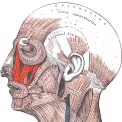 Botox Facial Muscle Diagram Blank Plant Cell 7th Grade Levator Labii Superioris - Wikipedia