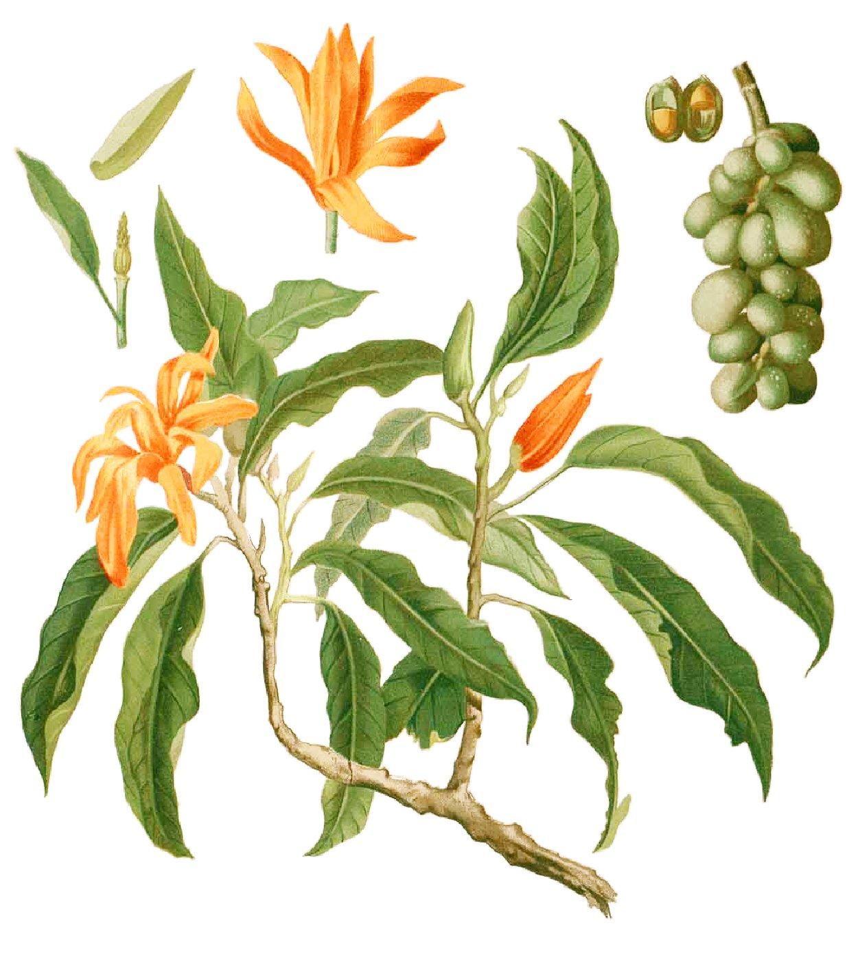 hight resolution of magnolium tree diagram