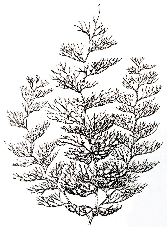 Sertularia Argentea Wikispecies