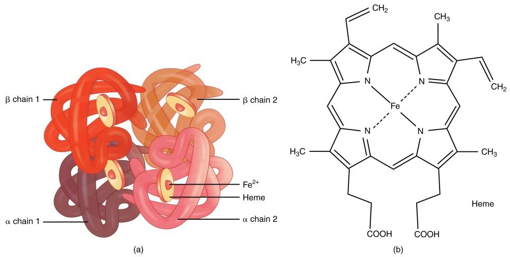medium resolution of image result for hemoglobin structure