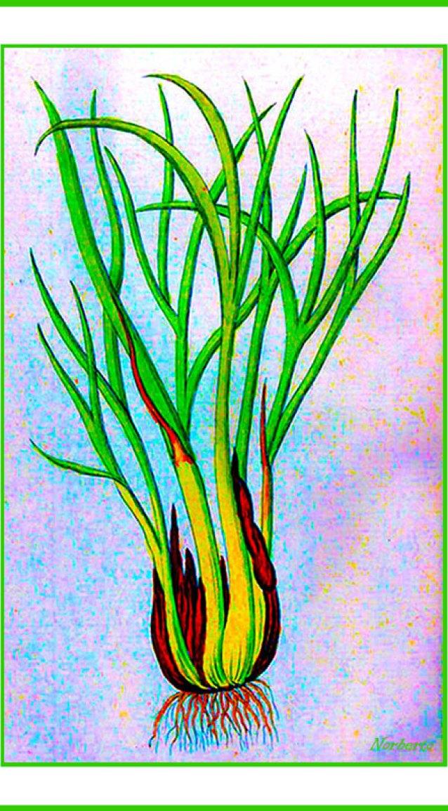 https://i0.wp.com/upload.wikimedia.org/wikipedia/commons/9/91/Allium_ascalonicum_Ypey29.jpg?resize=638%2C1155
