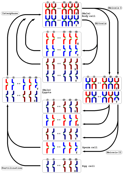 small resolution of meiosis