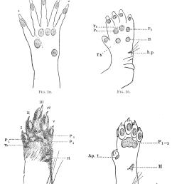 psm v62 d050 arrangement of pads on a mammalian foot png [ 1742 x 2181 Pixel ]