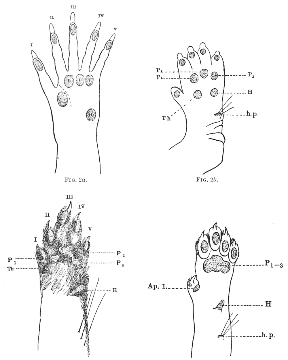 medium resolution of psm v62 d050 arrangement of pads on a mammalian foot png