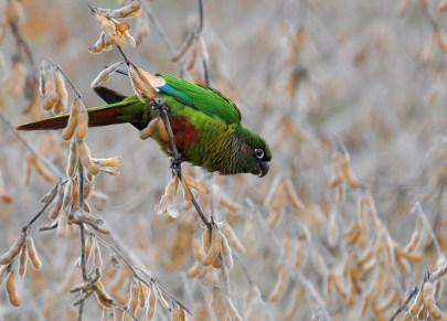 Braonuhi papagaj (Pyrrhura frontalis)