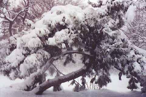 File:Snow on a Tree.jpg