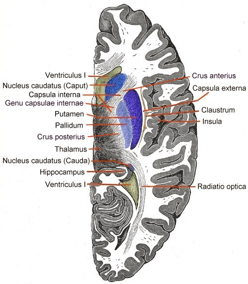 Striatum – Wikipedia