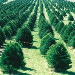 Christmas Tree Cultivation Wikipedia