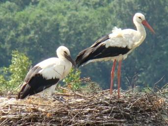 File:White Stork-Mindaugas Urbonas-1.jpg - Wikimedia Commons