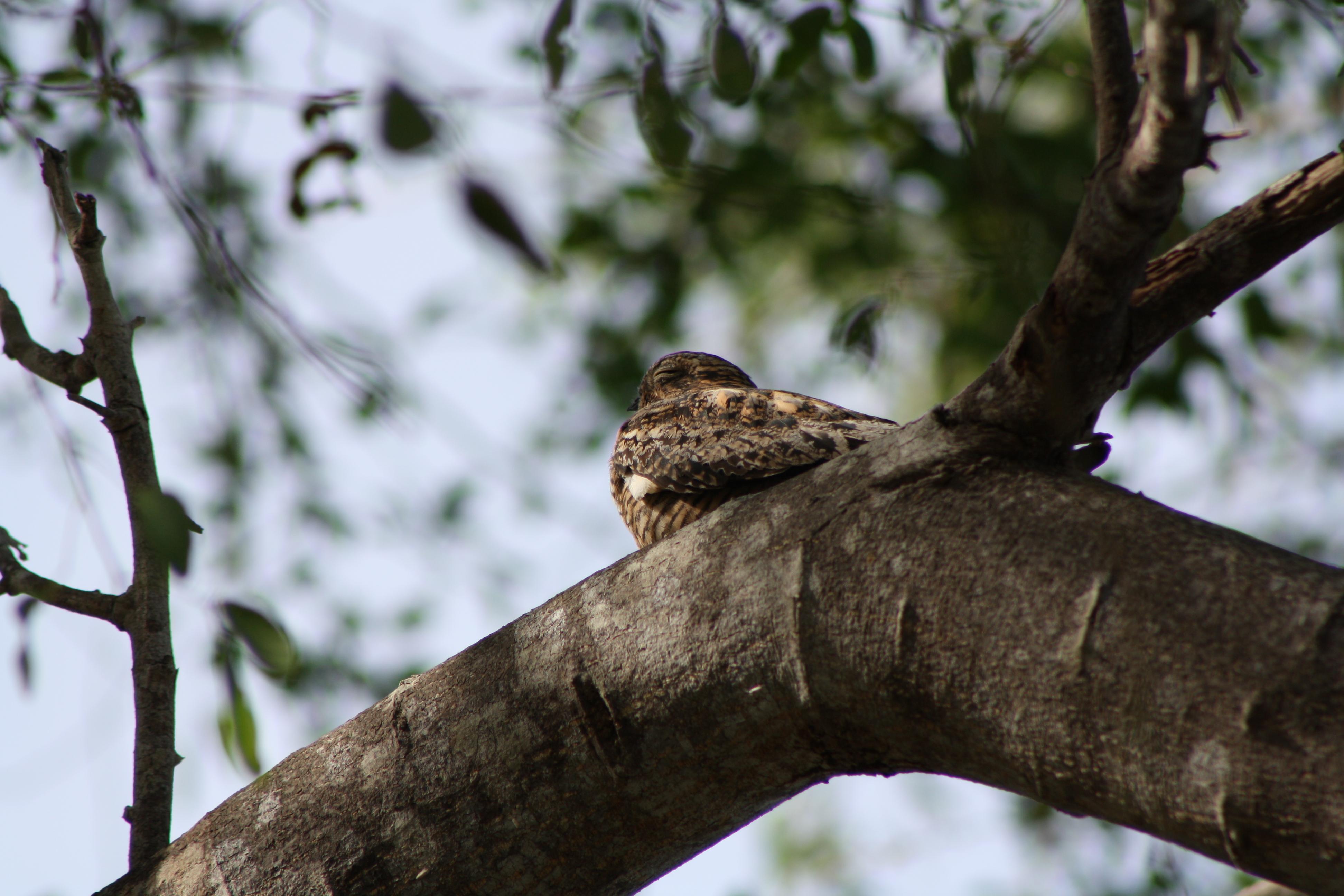 File Antillean Nighthawk Chordeiles Gundlachii Cabo