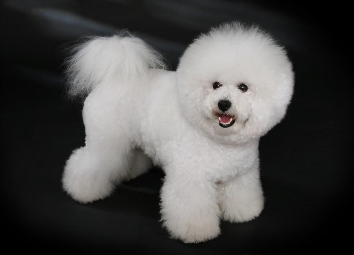 Bichon Fris%C3%A9   studdogbichon Shichon Puppies For Sale