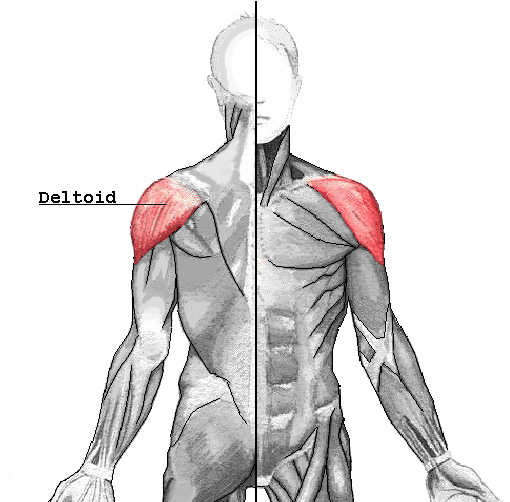 cat neck muscles diagram e39 wiring radio deltoid muscle - wikipedia