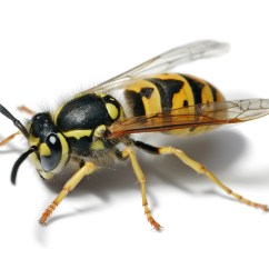 Hornet Anatomy Diagram Of Series And Parallel Circuits Yellowjacket Wikipedia
