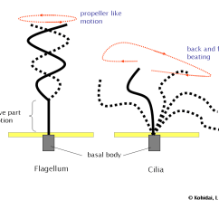 Bacterial Cell Diagram And Functions 1999 Gmc Sierra Wiring Flagellum - Simple English Wikipedia, The Free Encyclopedia