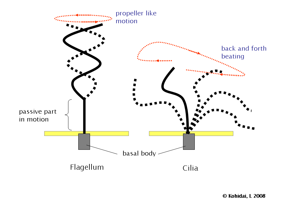bacterial cell diagram and functions viper smart start wiring flagellum - simple english wikipedia, the free encyclopedia