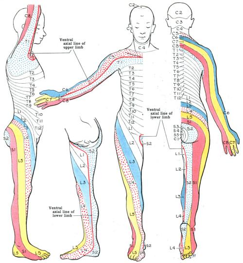 small resolution of dermatome anatomy