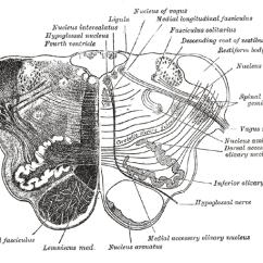 Anatomical Heart Diagram Posterior 30 Ampere Sicherung Motorrad Vt 500 Nucleus Ambiguus - Wikipedia