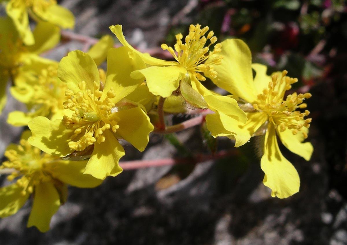 Helianthemum oelandicum  Wikipedia