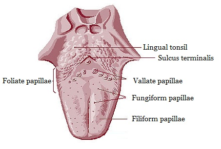 Dog Mouth Diagram Lingual Papillae Wikipedia