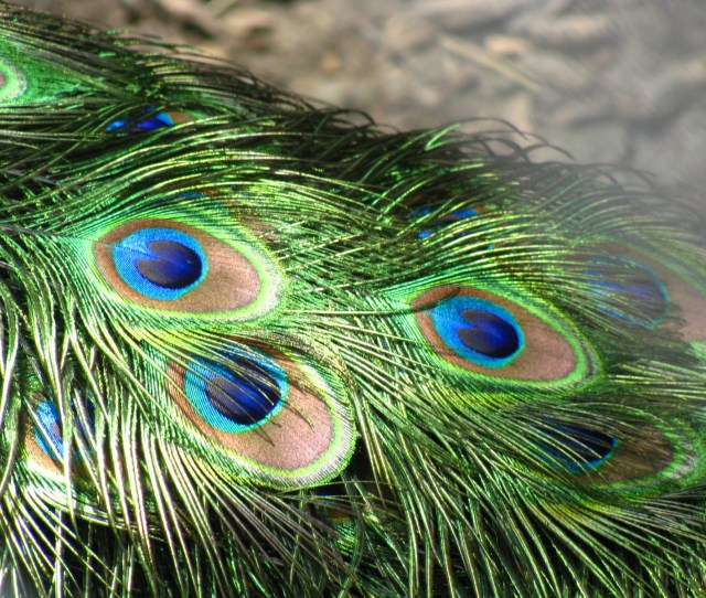 Filepeacock Feathers Closeup Jpg
