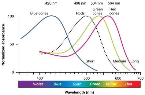 ความไวแสงของเซลล์ Rod และเซลล์ Cone สามประเภทในตาคนครับ