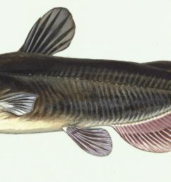 catfish [ 2278 x 970 Pixel ]