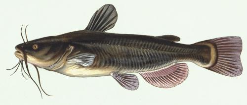 small resolution of catfish
