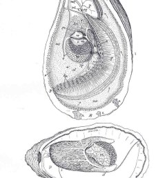 file fmib 33852 oyster with right shell and mantle removed diagram to show sexual [ 741 x 1293 Pixel ]